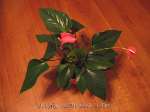anthurium_full