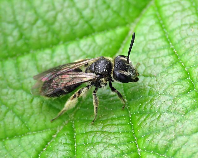 Impunctate Mini-miner - Andrena cf. subopaca