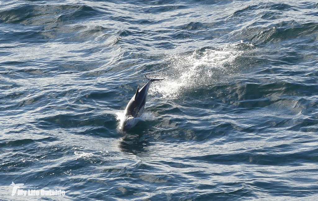 P1090051 - Common Dolphin