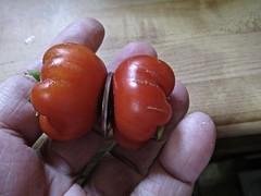 tomato dorje