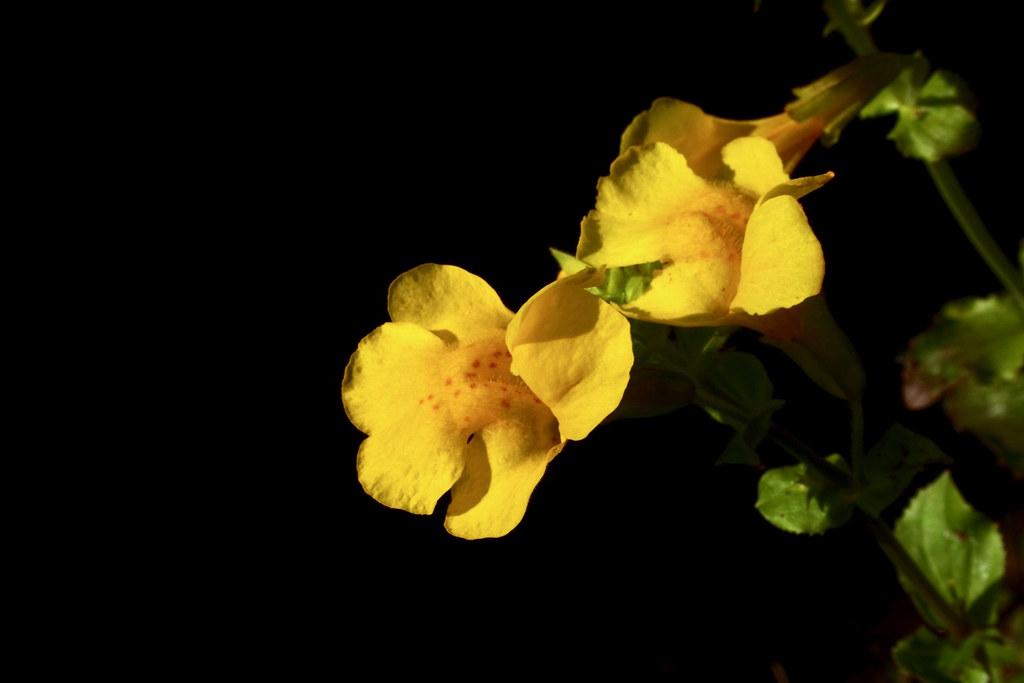Large Mountain Monkey-flower