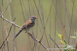 Field Sparrow | by Bothering Birds