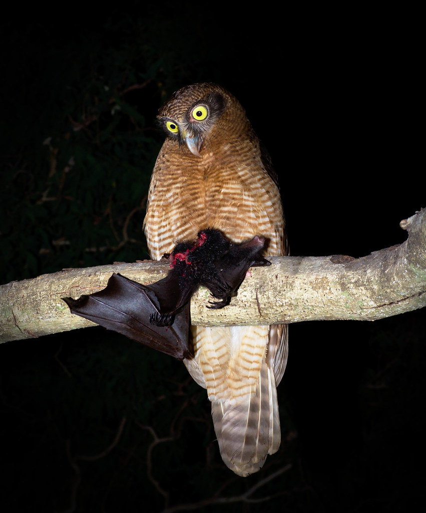 Rufous owl - photo#31