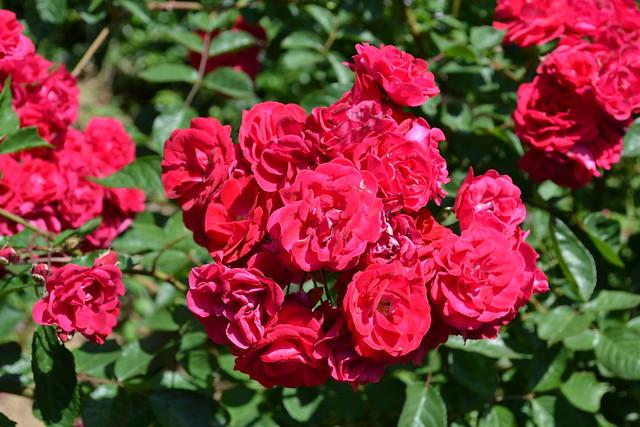 35050769101_3429d470eb_z Roses
