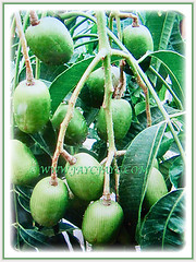 Fruiting branches of Spondias dulcis (Ambarella, Golden/Jewish/Polynesian Plum, Golden Apple, Umbra Fruit, Buah Kedondong), 25 June 2017
