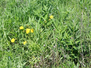 Meadow Coreopsis and Milkweed by Penny O'Connor