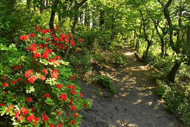 高千穂峰 鹿ヶ原の自然散策路に咲くツツジ