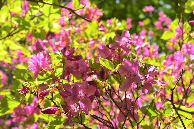 畦ヶ丸に咲く満開のミツバツツジ