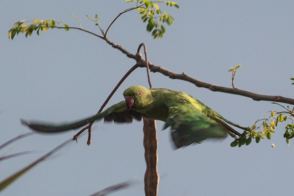 Rose-ringed Parakeet , female