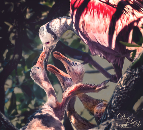 Image of three Roseate Spoonbill babies with Mom at the St. Augustine Alligator Farm Rookery