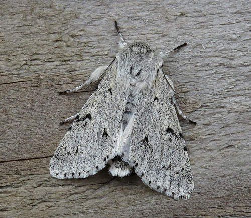 The Millar Acronicta leporina Tophill Low NR, East Yorkshire June 2017