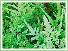 Lygodium japonicum (Japanese Climbing Fern, Climbing Fern, Vine-like Fern) with attractive green fronds, 27 June 2017