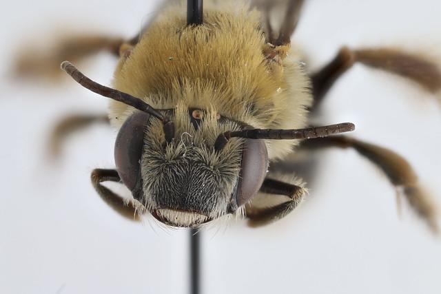 Bee Identification Help