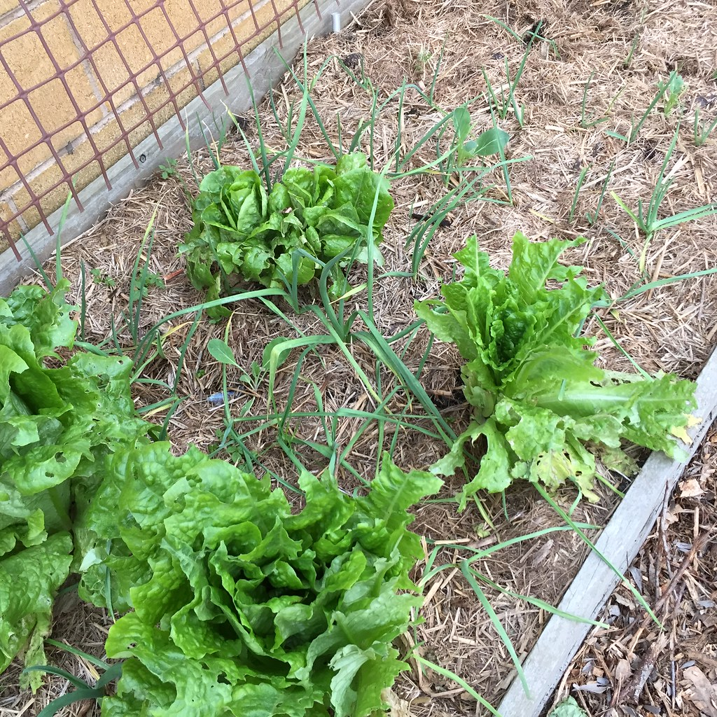 a section of our patch, featuring big butter crunch lettuces, garlic and cauliflower plants
