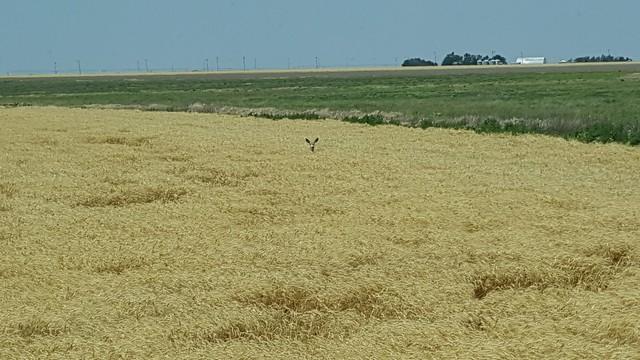 Schemper 2017 - Kansas Wheat Harvest