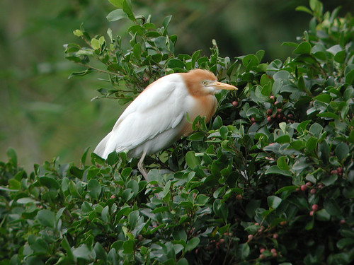 cattle_egret_hfcheung