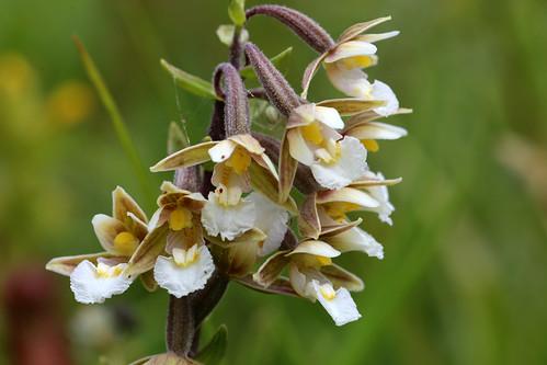 Marsh Hellebroine Epipactis palustris