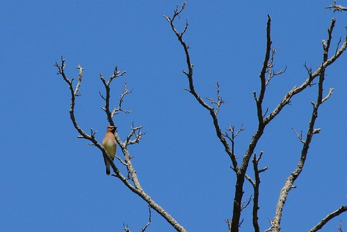 IMG_10168_Cedar_Waxwing_at_Ouabache
