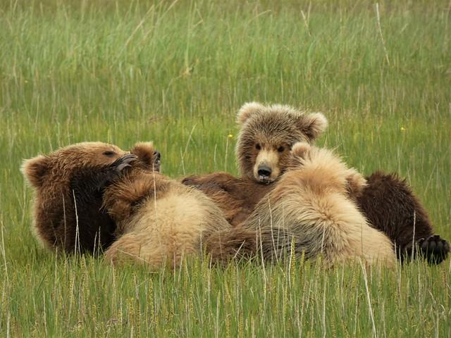 Osa amamantando a sus crías en Lake Clark National Park (Alaska)
