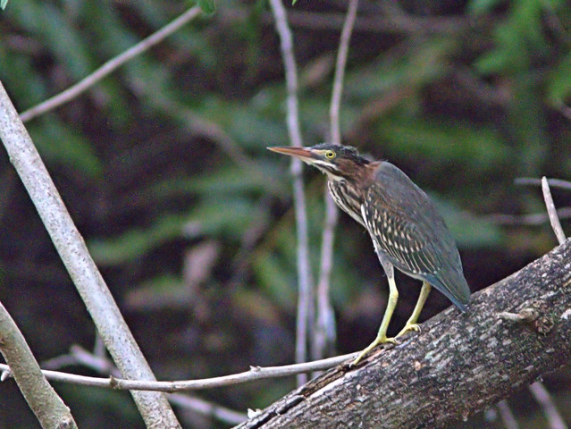 Green Heron fledgling 20170605