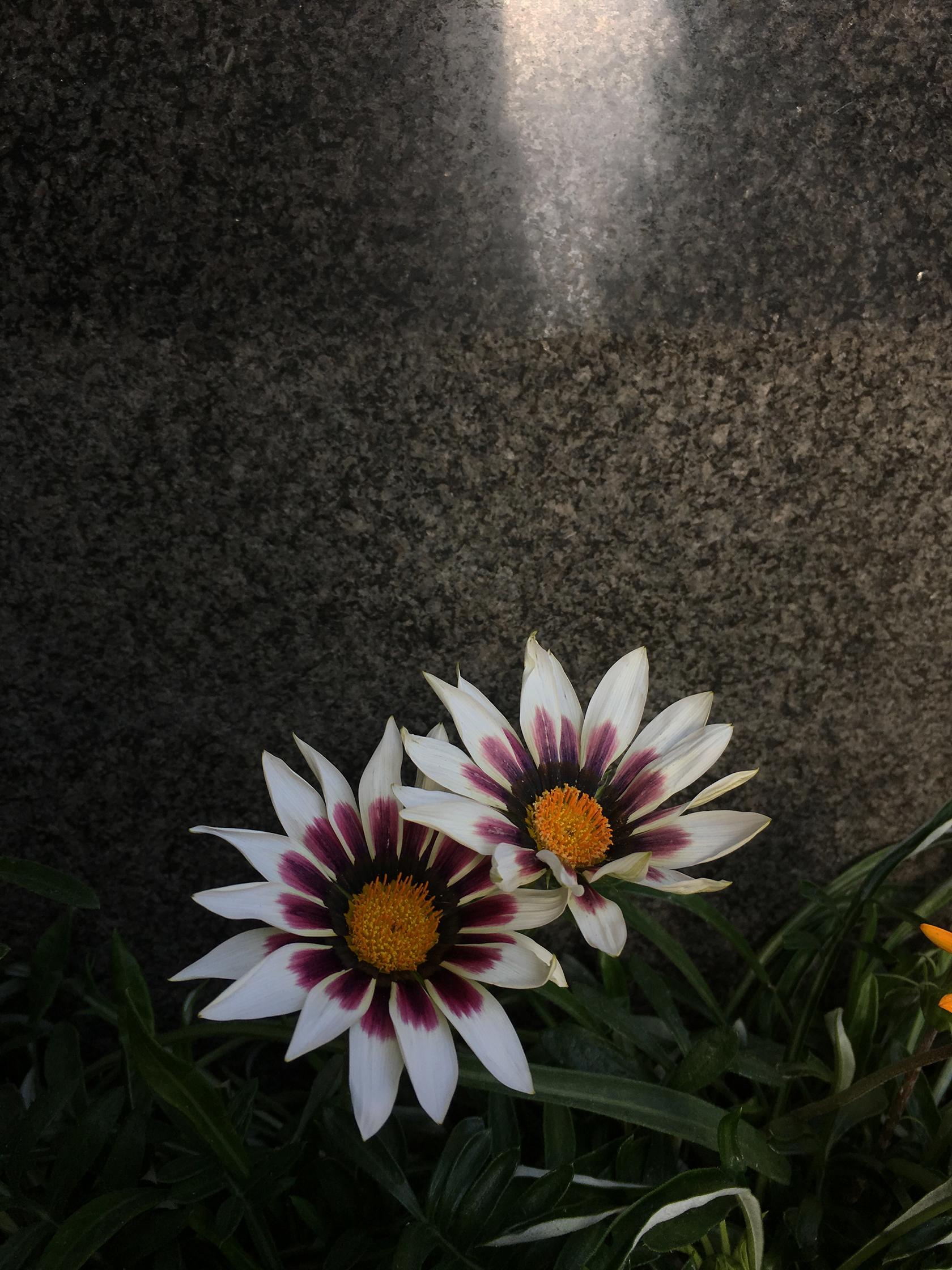 ebisu flower