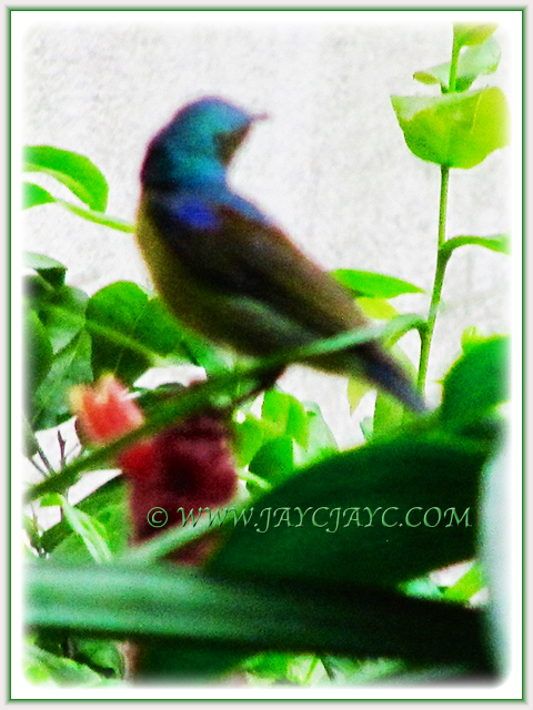 Sunbird resting on the Red Button Ginger