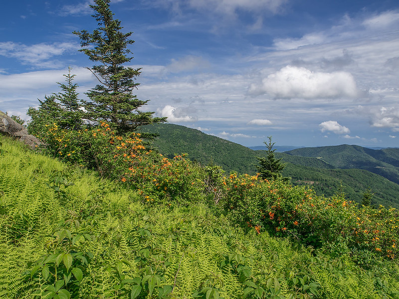 Flame Azalea on the mountain slope