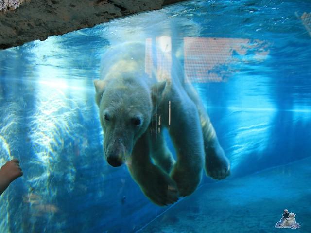 Eisbär Fiete im Sosto Zoo 28.05.2017 148