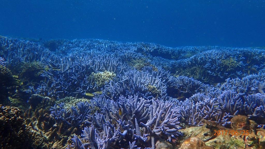 因滿佈藍色的軸孔珊瑚,有薰衣草花園之稱的東吉潛點。陳林裕攝。