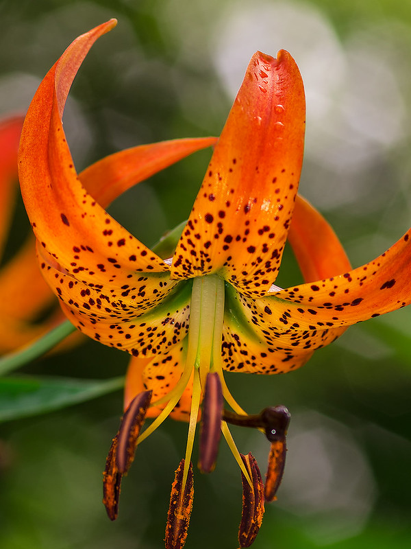 Turk's Cap lily showing green stripe in the center of each petal