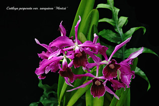 Cattleya purpurata var.sanquinea ' Mentzii ' | by emmily1955