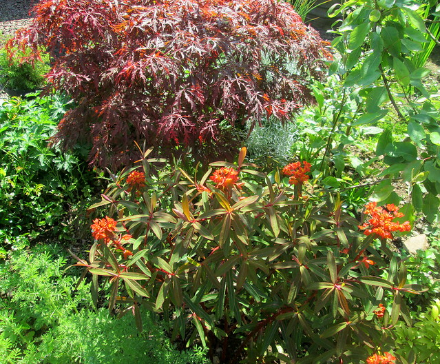 acer and euphorbia fireglow