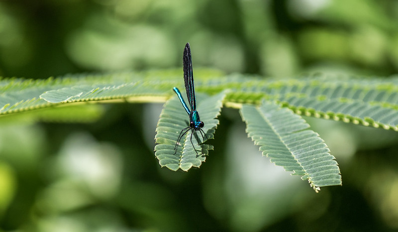 Ebony Jewelwing (?) Damselfly