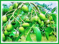 Edible fruits of Spondias dulcis (Ambarella, Golden/Jewish/Polynesian Plum, Golden Apple, Umbra Fruit, Buah Kedondong) with countless health benefits, 23 June 2017