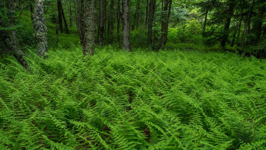 ... Fern Garden, Pisgah National Forest, North Carolina | By Netbros