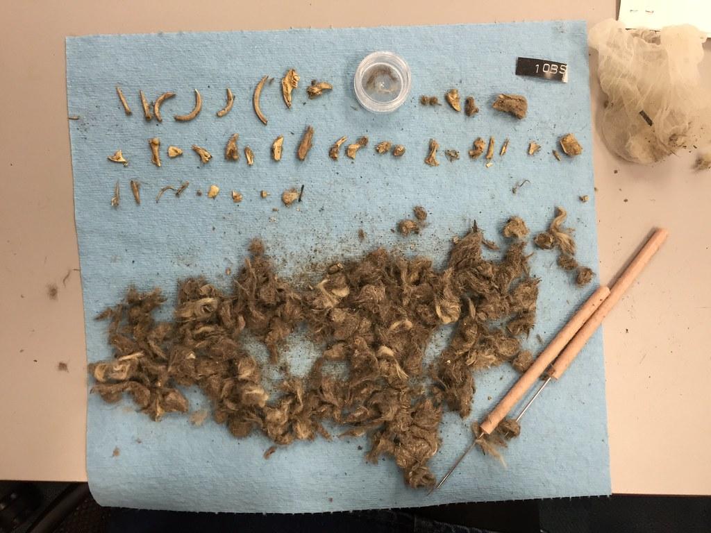 混雜毛髮、骨頭等的郊狼糞便塊。圖片來源:National Park Service。