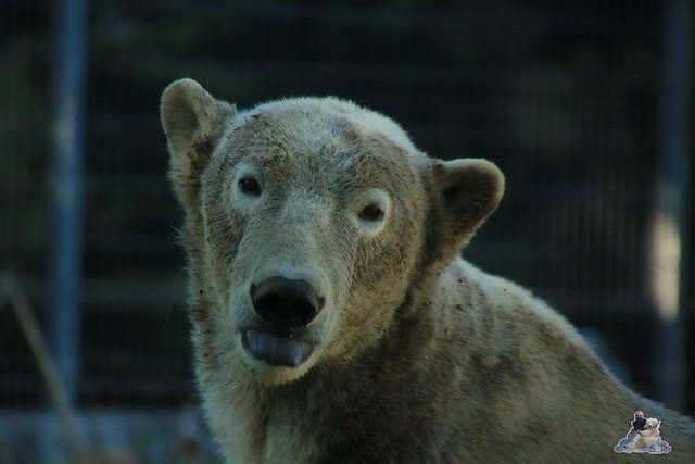 Eisbär Fiete im Sosto Zoo 28.05.2017 216