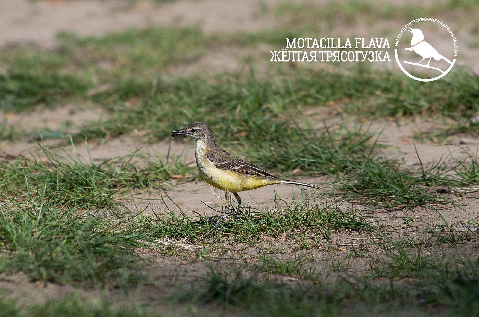 Motacilla flava // 20170613