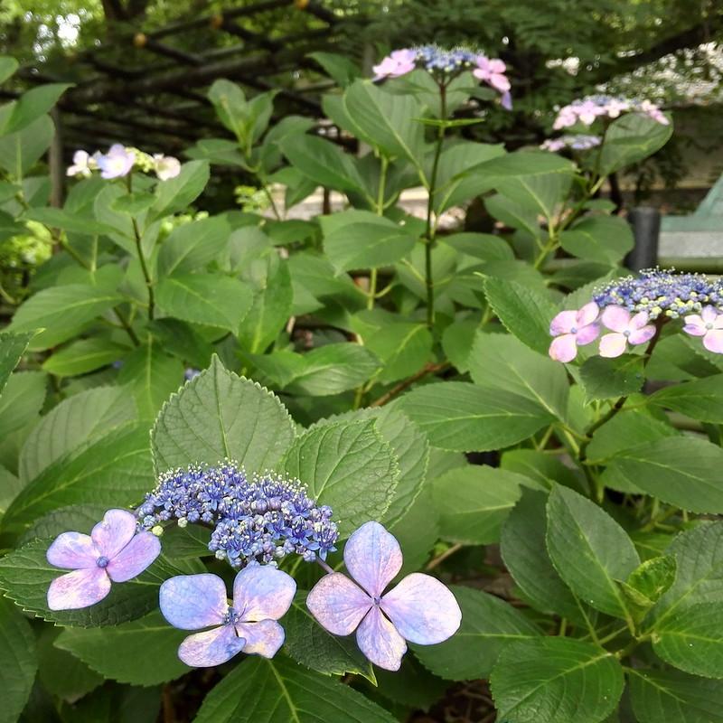 斑な紫陽花の花びら
