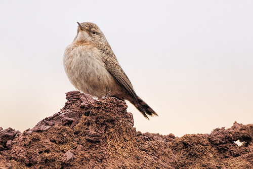 NJ: Rock Wren