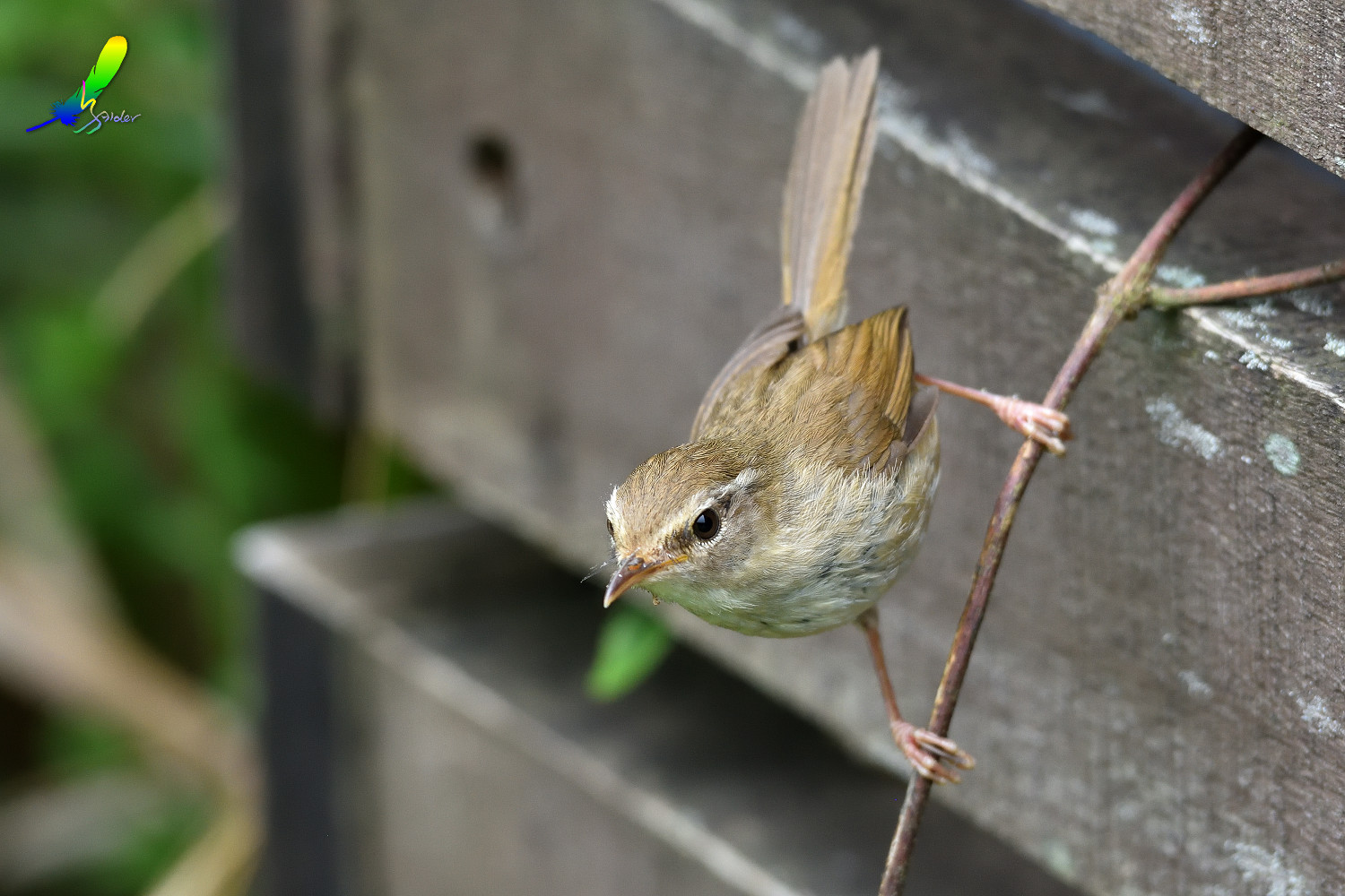 Strong-footed_Bush_Warbler_4150