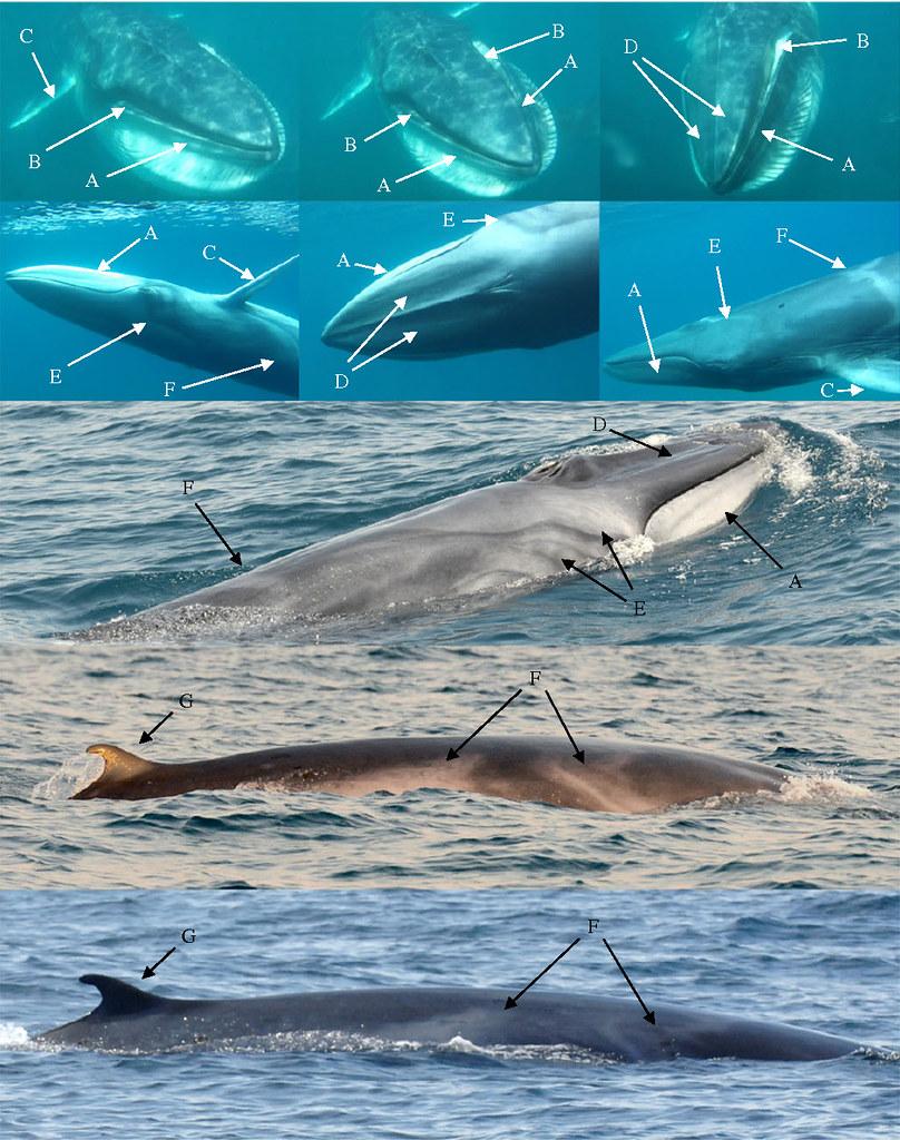 遨遊在馬達加斯加海域的大村鯨,從這些照片中可以看到主要辨識大村鯨的一些外部形態特徵,如下顎上緣的部分,左右兩邊的顏色不對稱,右邊顏色比較淡而左邊的顏色比較深、頭部背面(嘴巴)的左右兩條側脊(lateral ridge)不明顯、或是他們的手(flipper,或稱胸鰭)前緣部分為白色的等等。