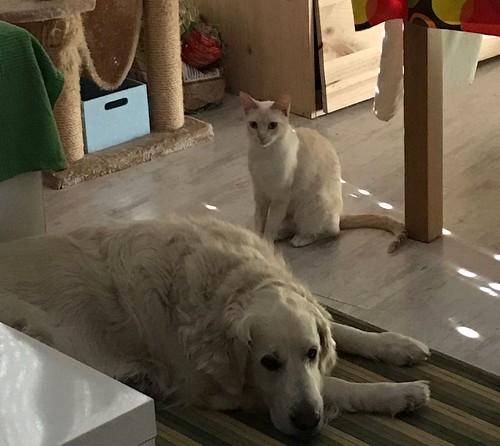 Brisa, gata Siamesa Red Point dulce y tímida esterilizada nacida en Abril´15, en adopción. Valencia. ADOPTADA. 35214806563_c468ab2574