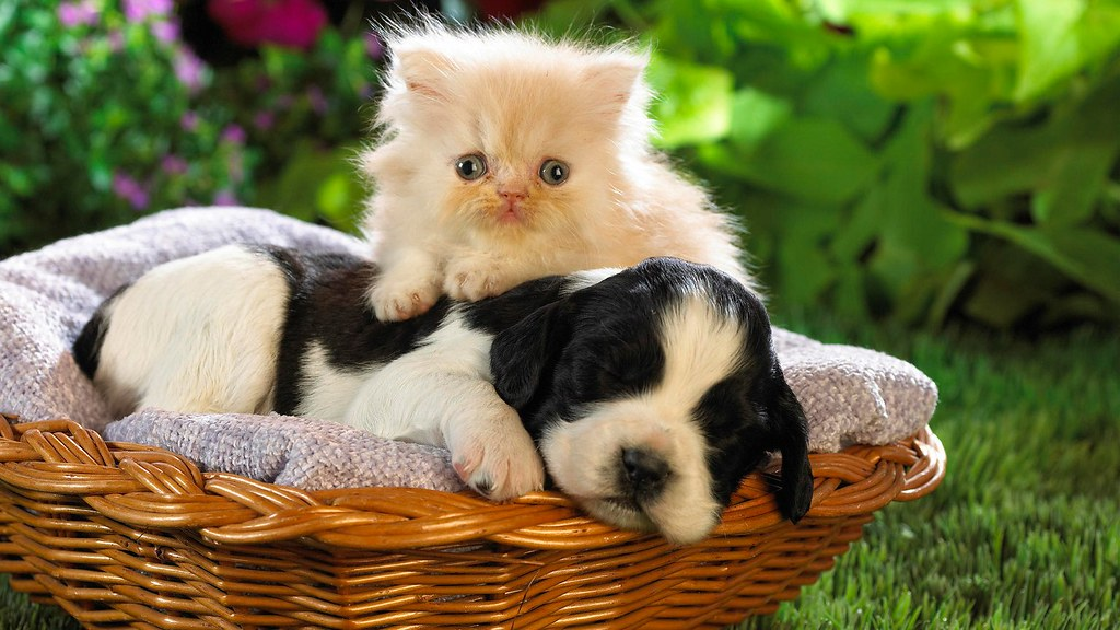 Little Beautiful Cat With Dog Photo Famous Hd Wallpaper Flickr