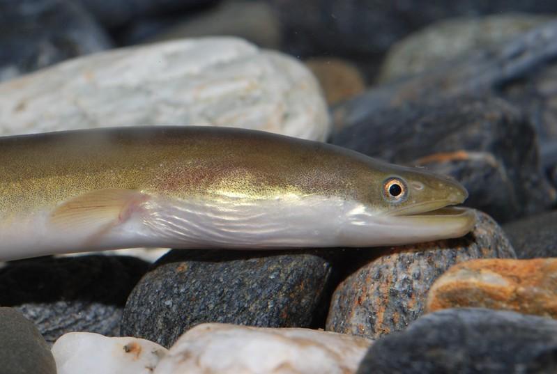 日本鰻鱺。照片提供:林務局