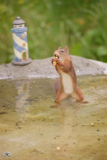 squirrel  in the water eating a peanut | by Geert Weggen