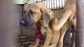 "The Korea Observer's documentary ""The Dog Meat Professional: South Korea"" 