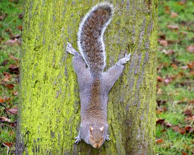 Ardilla en Hyde Park de Londres