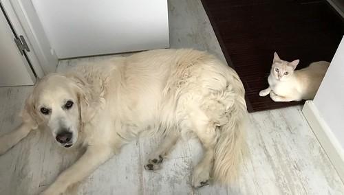 Brisa, gata Siamesa Red Point dulce y tímida esterilizada nacida en Abril´15, en adopción. Valencia. ADOPTADA. 35983657816_b34edb494c