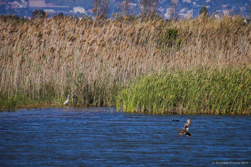 Aves acuáticas en el Estany de Cal Tet